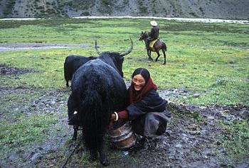 litang-nomad-family-milking