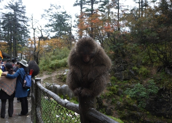 Monkeys in Mount Emei