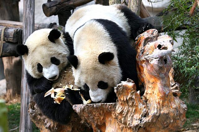 Breeding Pandas in Chengdu Panda Base