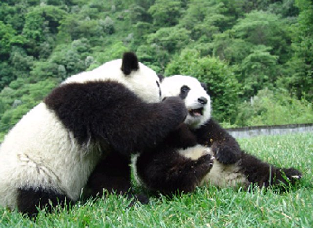 Pandas Playing in Chengdu China