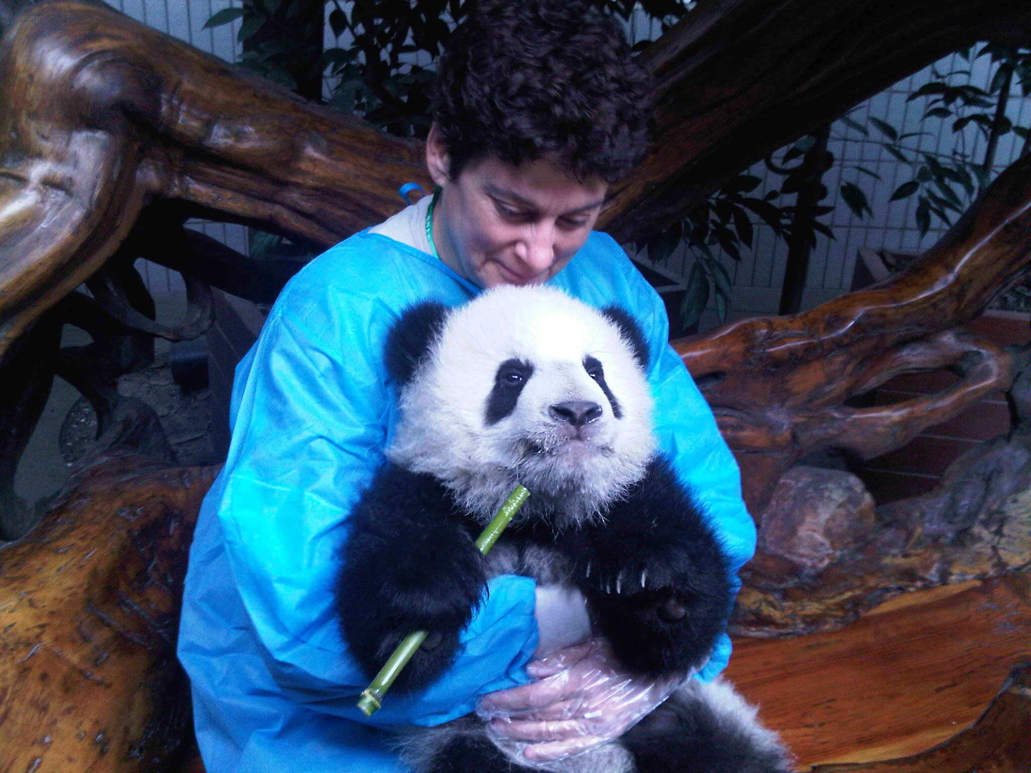 Panda Volunteering on a chengdu tour