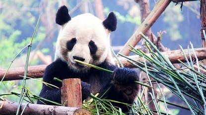 Things To Do in China: Visit the Giant Pandas
