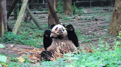 Chengdu Giant Panda on the Silk Road Tour