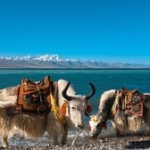 Yaks at Namtso Lake shore