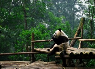 Panda at Chengdu Panda Base